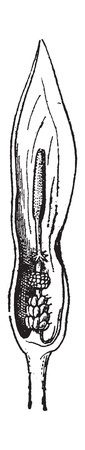 Fig.15. Arum, vintage engraved illustration. Dictionary of words  and things - Larive and Fleury - 1895.