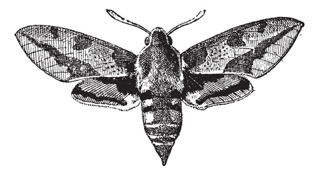 Fig 23. Deilephila, vintage engraved illustration. Dictionary of words and things - Larive and Fleury - 1895.