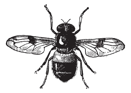 wildlife: Fig 19. Volucella, vintage engraved illustration. Fly Volucella isolated on white background. Volucella isolated on white. Dictionary of words and things - Larive and Fleury - 1895.