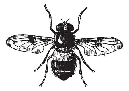 Figuur 19. Volucella, vintage engraved illustration. Vlieg Volucella geïsoleerd op een witte achtergrond. Volucella geïsoleerd op wit. Woordenboek van woorden en dingen die er - Larive en Fleury - 1895. Stock Illustratie