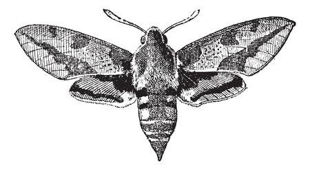 Abb. 23. Deilephila, Jahrgang gravierte Darstellung. Wörterbuch der Wörter und Dinge - Larive und Fleury - 1895.