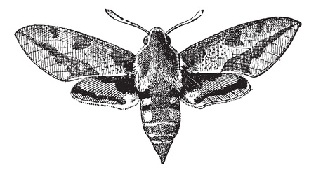 moths: Fig 23. Deilephila, vintage engraved illustration. Dictionary of words and things - Larive and Fleury - 1895.