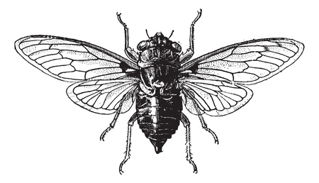 Fig 14. Cicada, vintage engraved illustration. Cicada isolated on white. Dictionary of words and things - Larive and Fleury - 1895. Stock Vector - 13766643