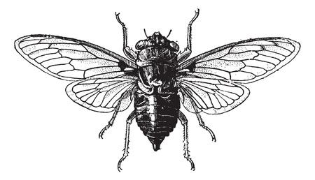 cigarra: Fig. 14. Cigarra, cosecha ilustración grabada. Cigarra aislado en blanco. Diccionario de palabras y las cosas - Larive y Fleury - 1895. Vectores