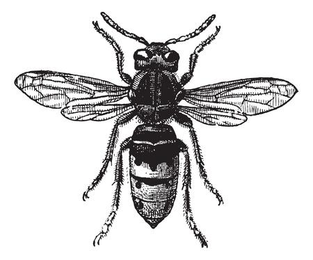 avispa: Fig. 12. Avispa, cosecha ilustración grabada. Avispa Aislado en blanco. Diccionario de palabras y las cosas - Larive y Fleury - 1895.