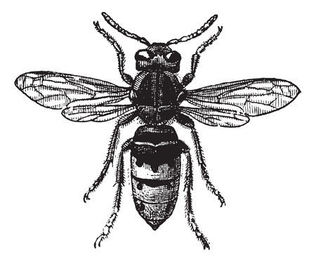 engraving: Fig 12. Wasp,  vintage engraved illustration. Wasp Isolated on white. Dictionary of words and things - Larive and Fleury - 1895.