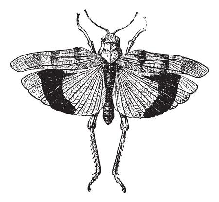 langosta: Fig. 9. Acre. Coleopteres, vintage, ilustración, grabado. Diccionario de palabras y las cosas - Larive y Fleury - 1895.