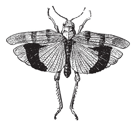 locust: Fig 9. Acrid. Coleopteres, vintage engraved illustration. Dictionary of words and things - Larive and Fleury - 1895. Illustration