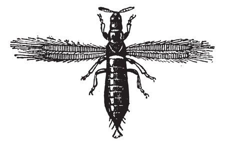 piojos: Fig. 4. Trips, Neuropteris o Thunderbugs o Thunderflies o moscas de tormenta o thunderblights o piojos de maíz, cosecha, ilustración, grabado. Diccionario de palabras y las cosas - Larive y Fleury - 1895.