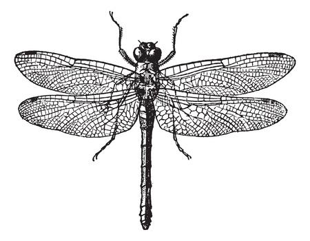 Fig 1. Libellule, vendemmia, inciso, illustrazione. Dizionario delle parole e le cose - Larive e Fleury - 1895. Vettoriali