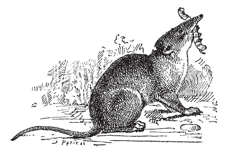 insectivorous: Insectivorous Mammal, vintage engraved illustration. Dictionary of words and things - Larive and Fleury - 1895.