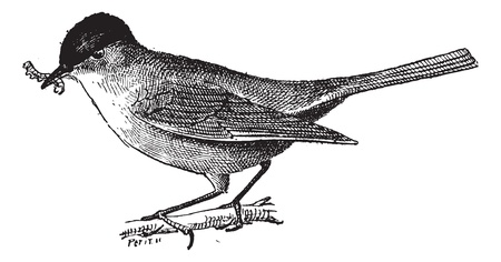 insectivorous: Insectivorous bird, vintage engraved illustration. Dictionary of words and things - Larive and Fleury - 1895.