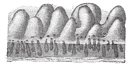 epithelial cells: Fig. 5. Intestinal crypt or Glands of Lieberkuhn or intestinal gland, vintage engraved illustration. Dictionary of words and things - Larive and Fleury - 1895.