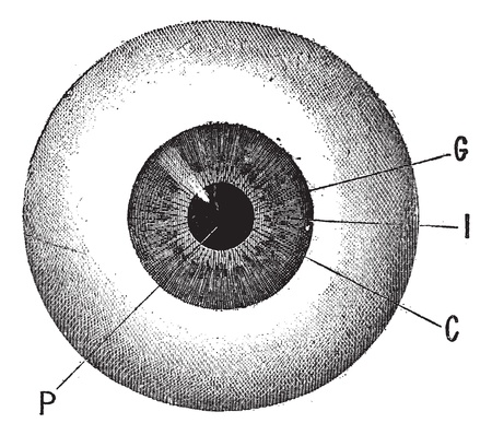 eye drawing: Iris, vintage engraved illustration. Human eye. Dictionary of words and things - Larive and Fleury - 1895. Illustration