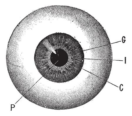 cornea: Iris, vintage illustrazione inciso. L'occhio umano. Dizionario di parole e cose - Larive e Fleury - 1895.