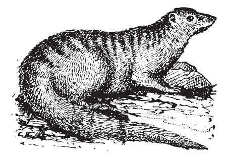 mongoose: Old engraved illustration of Egyptian Mongoose or Herpestes ichneumon or Ichneumon in the meadow. Dictionary of words and things - Larive and Fleury ? 1895 Illustration