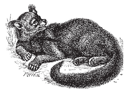 omnivorous: Old engraved illustration of Binturong or Arctictis binturong or Asian Bearcat or Palawan Bearcat or Bearcat in the meadow. Dictionary of words and things - Larive and Fleury ? 1895