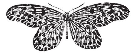 white butterfly: Old engraved illustration of Tree-nymph or Idea lynceus or Papilio lynceus or Hestia reinwardti isolated on a white background. Dictionary of words and things - Larive and Fleury ? 1895