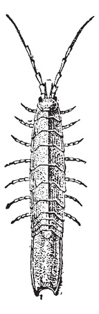 crustacea: Old engraved illustration of Idotea isolated on a white background. Dictionary of words and things - Larive and Fleury ? 1895