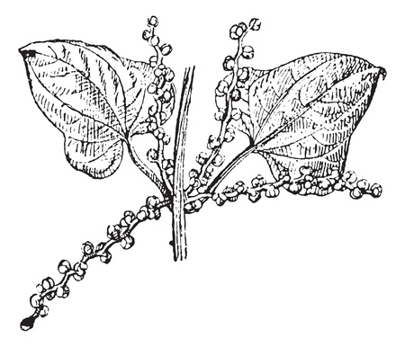 chinese yam: Old engraved illustration of Chinese yam or  Dioscorea polystachya, male flower isolated on a white background. Dictionary of words and things - Larive and Fleury ? 1895