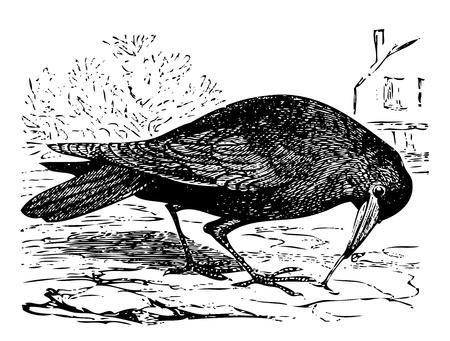pajaro  dibujo: Ilustración del Antiguo grabado de un pájaro torre, o frugilegus Corvus, aislado en blanco. Vivo trazado. Desde la enciclopedia Trousset, París 1886 hasta 1891.