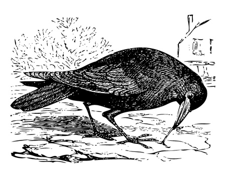 ancient bird: Old engraved illustration of a rook bird, or Corvus frugilegus, isolated on white. Live traced. From the Trousset encyclopedia, Paris 1886 - 1891. Illustration