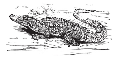 Engraving of a saltwater crocodile, in black lines. Crocodilus biporcatus, from Trousset encyclopedia 1886 - 1891 Vector