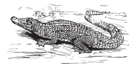 fleischfressende pflanze: Gravur eines Salzwasser-Krokodil, in schwarzen Linien. Crocodilus biporcatus, aus Trousset Enzyklop�die 1886 - 1891