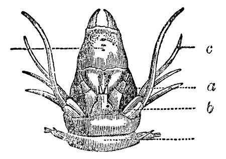 Nereididae or Ragworm or Clam worm, vintage engraved illustration. Magasin Pittoresque 1875.  向量圖像