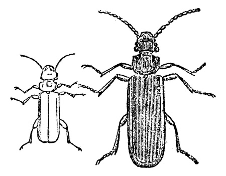 Cucujo beetle, vintage engraved illustration. Magasin Pittoresque 1875.