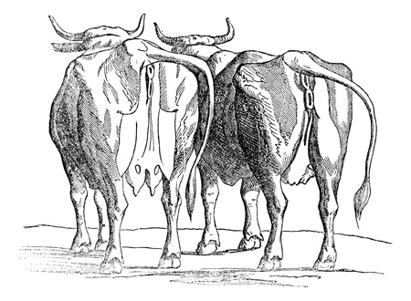 domestic cattle: Cow udder, vintage engraved illustration. Magasin Pittoresque 1875.