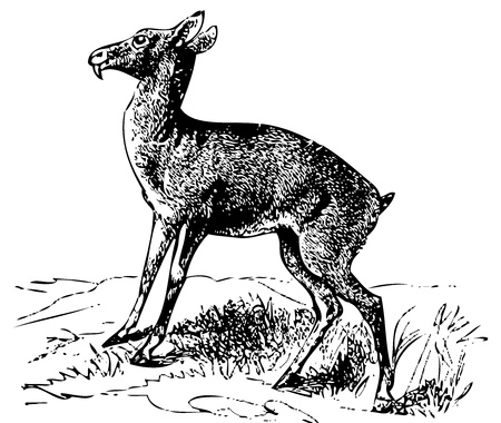 Old engraved illustration of a Siberian musk deer or moschus moschiferus, isolated on white. Live traced. From the Trousset encyclopedia, Paris 1886 - 1891. Ilustração