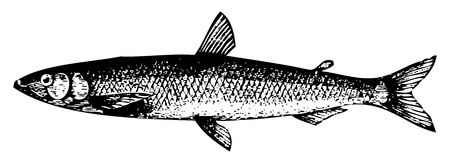 Old engraved illustration of a Old engraving of a European smelt fish or osmerus eperlanus, isolated on white. Live traced. From the Trousset encyclopedia, Paris 1886 - 1891. Stock Vector - 13766550