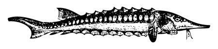 sturgeon: Old engraved illustration of a Sterlet or Accipenser ruthenus, isolated on white. Live traced. From the Trousset encyclopedia, Paris 1886 - 1891.
