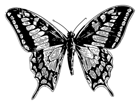 butterfly wings: Old engraved illustration of a old world swallowtail or papilio machaon, isolated on white. Live traced. From the Trousset encyclopedia, Paris 1886 - 1891.