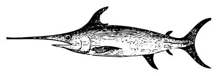 pez espada: Ilustración del Antiguo grabado de un pez espada, aislado en blanco. Vivo trazado. Desde la enciclopedia Trousset, París 1886 hasta 1891.