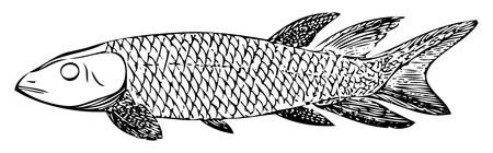 traced: Old engraved illustration of an extinct fish, the Dipterus (thursius) macrolepidotus, isolated on white. Live traced. From the Trousset encyclopedia, Paris 1886 - 1891.