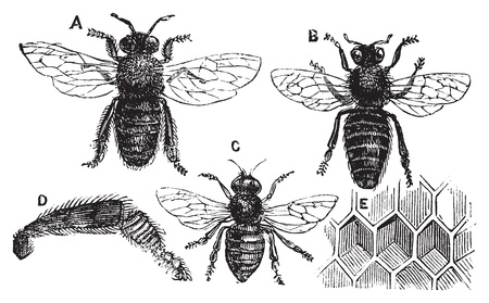 honey bees: A. Male - B. Female - C. Neutral - D. Rear leg - E. Honeycomb or honey cell. Old vintage illustration from Trousset Encyclopedia 1886 - 1891, live traced vector. Illustration