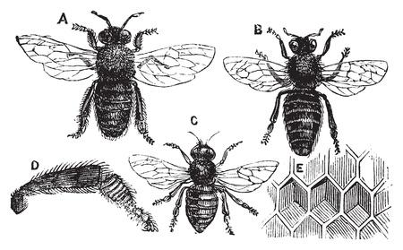 abejas panal: A. Masculino - Femenino B. - C. Neutral - D. Leg trasero - E. de nido de abeja o miel de la célula. Ilustración del Antiguo época en la Enciclopedia de Trousset 1886 - 1891, vector vivo trazado.