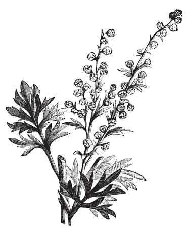 ajenjo: Absenta de la planta, Artemisia absinthium, o ajenjo ilustración grabado, aislado en blanco. También se llama (absinthium, ajenjo ajenjo, ajenjo, ajenjo común, Green Ginger o gran ajenjo. Ejemplo del vintage. Vectores