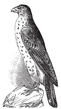 Coopers Hawk or Accipiter Cooperi vintage illustration. Old engraving, lived traced vector from a scan from Trousset Encyclopedia 1886 - 1891 Vector