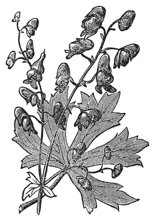 perennial: Monkshood or Aconitum napellus engraved illustration. Also known as aconite, Wolfs Bane, Fuzi, Monks Blood, or Monks Hood. Old vintage plant etching