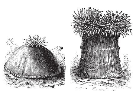 Geopend en dichtbij zee-anemoon oude gegraveerde afbeelding. Zee anemonen zijn een groep van water-woning, roofzuchtige dieren van de orde Actiniaria.