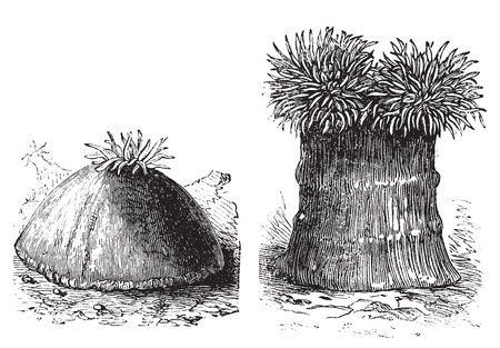 polyp corals: Opened and close sea anemone old engraved illustration. Sea anemones are a group of water-dwelling, predatory animals of the order Actiniaria.