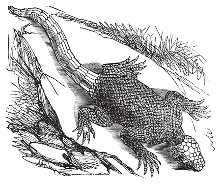 reptilia: West african spinous lizard or Agama colonorum engraving or vintage illustration. From the reptilia agamidae family. African common small reptile.
