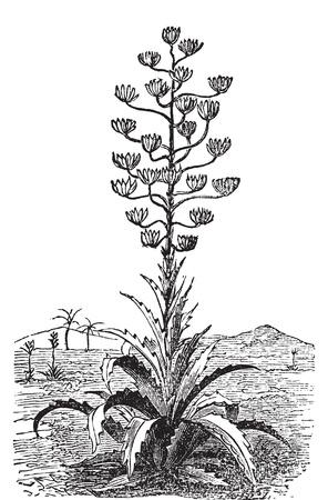 agave: Siglo planta o el grabado de época Agave Americana de edad. Grabado ilustración vectorial. Originario de México, sino en todo el mundo cultiva como planta ornamental.