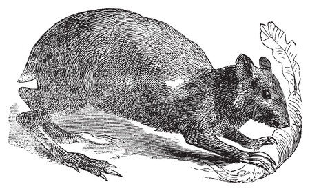 agouti: Agouti or Dasyprocta agouti engraving. Old engraved illustration of an agouti rodent eating a leaf. They are related to guinea pigs and look quite similar but have longer legs. Illustration