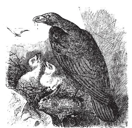 Golden eagle or Aquila chrysaetos vintage engraving, vector. Old engraved illustration of a golden eagle feeding her babies in her nest.