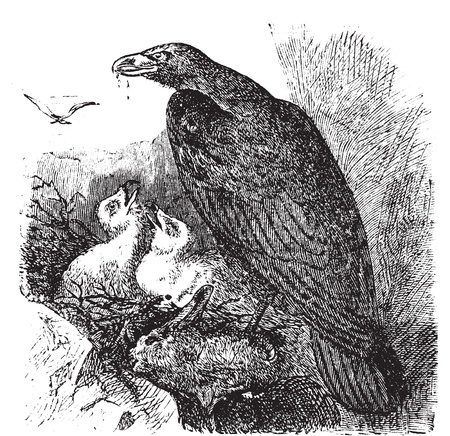 Golden eagle or Aquila chrysaetos vintage engraving, vector. Old engraved illustration of a golden eagle feeding her babies in her nest. Vector