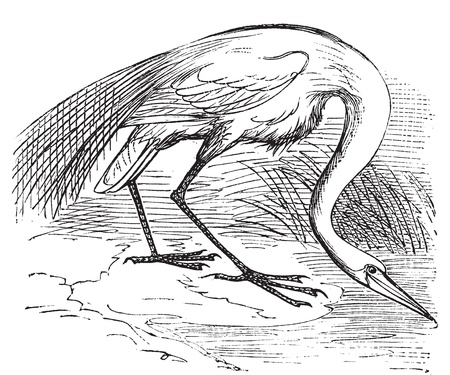 wade: Engraving of a White Heron or egret (Ardea egretta). Old vintage engraved illustration of the great white egret or heron in his environment.